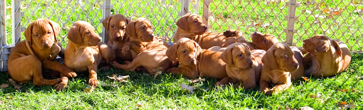 Vizsla Puppies: Whole Gang